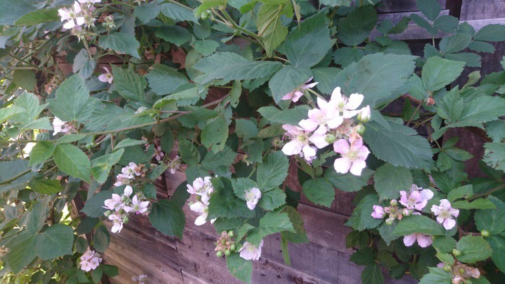 dairoku 2018 6 black berry flower